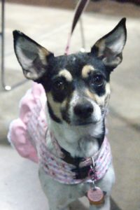 Available Dogs   Rat Terrier ResQ