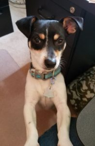 Available Dogs | Rat Terrier ResQ
